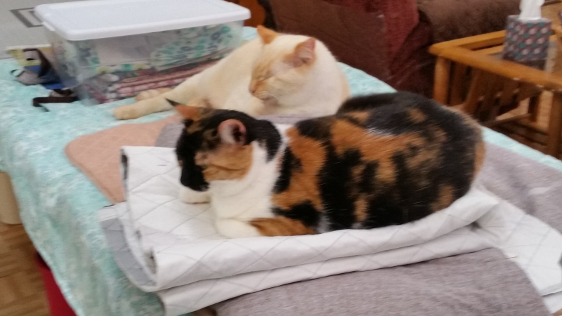 Callie Kitten & Patch Keeping Me Company While I Sew